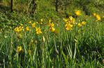 Vild Tulipan (Tulipa sylvestris)